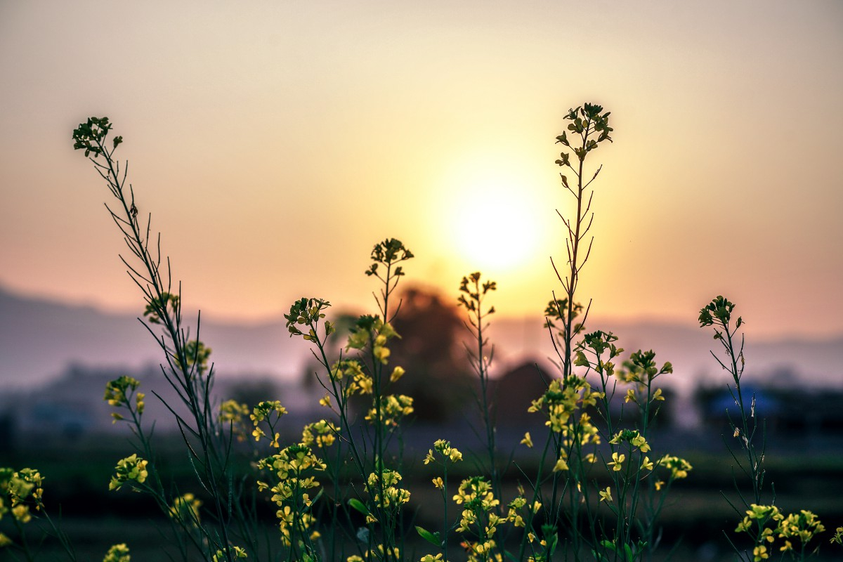 Beautiful yellow flower in a close shot and sunrise views in country side.