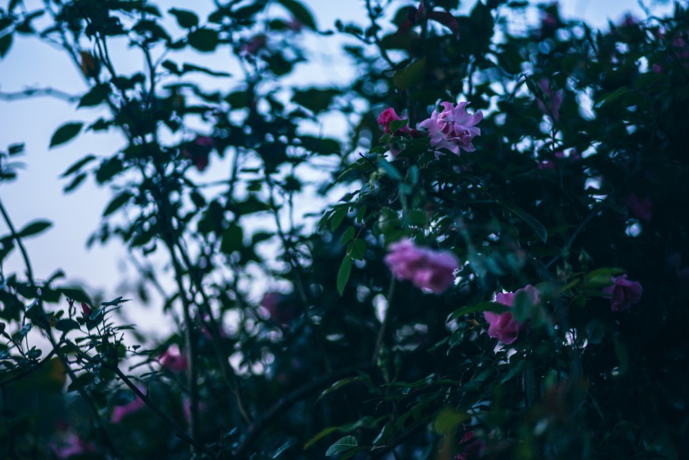Pink Flower Plant with Green Leaves during Sunrise