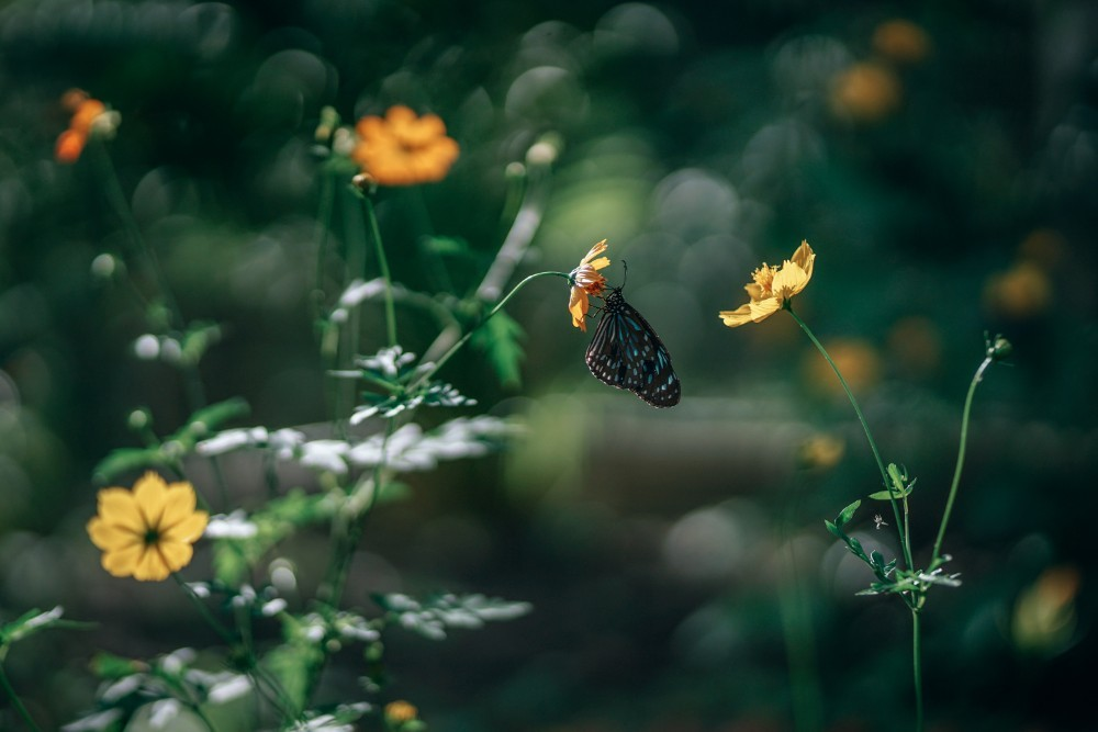 Black and Blue Butterfly on a Yellow Flower