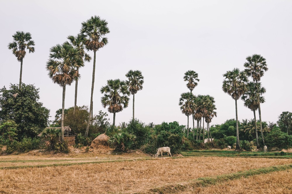 Cambodian Farm Fields with Tall Palm Trees
