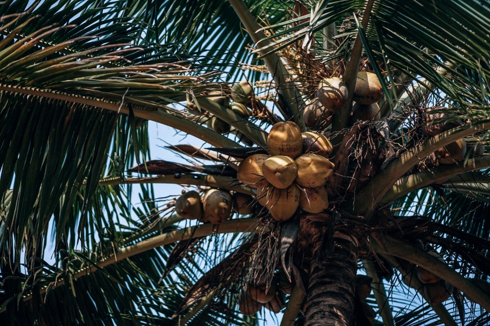 Coconut-Tree-with-Fresh-Coconuts