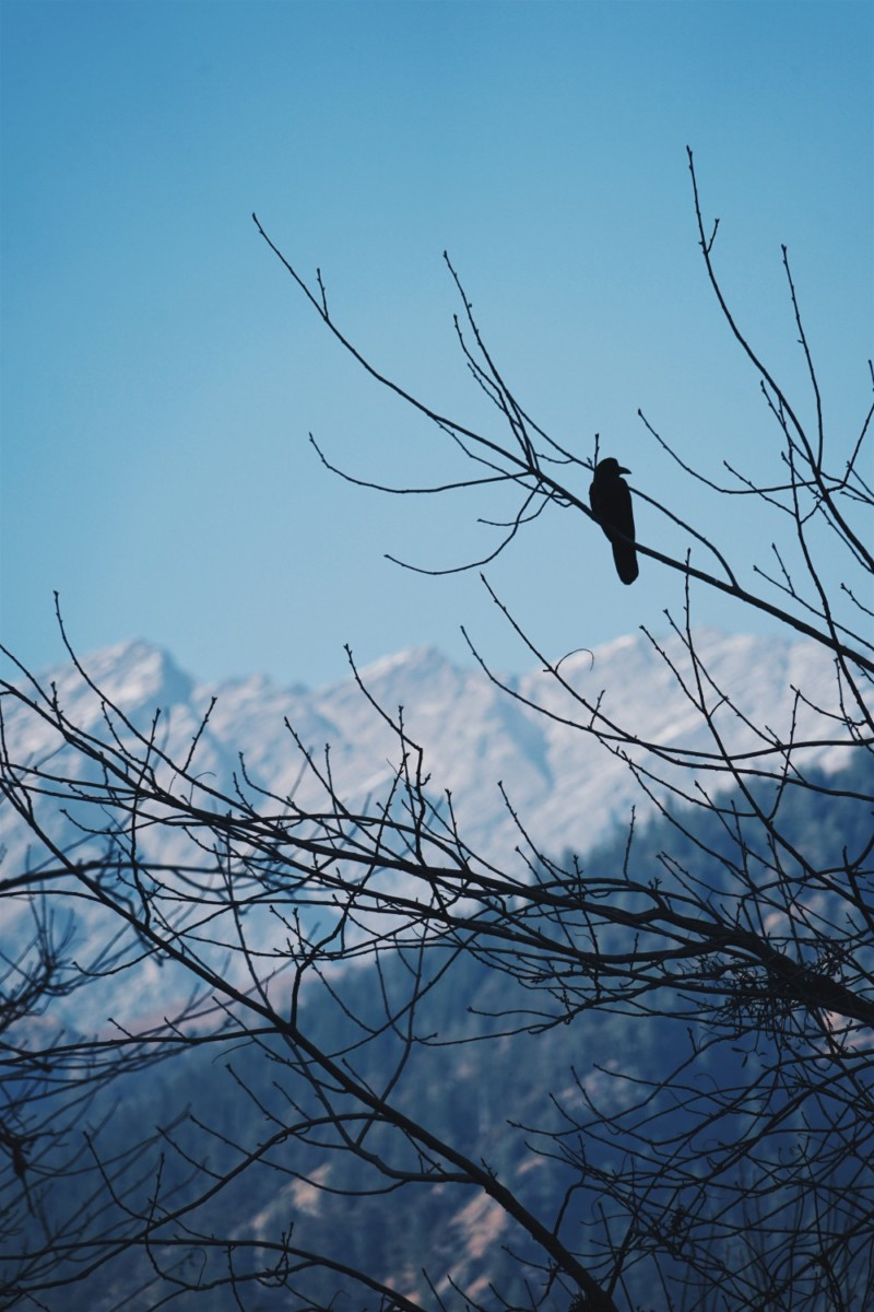 Crow Sitting on a Tree Branch with Mountains in the Background