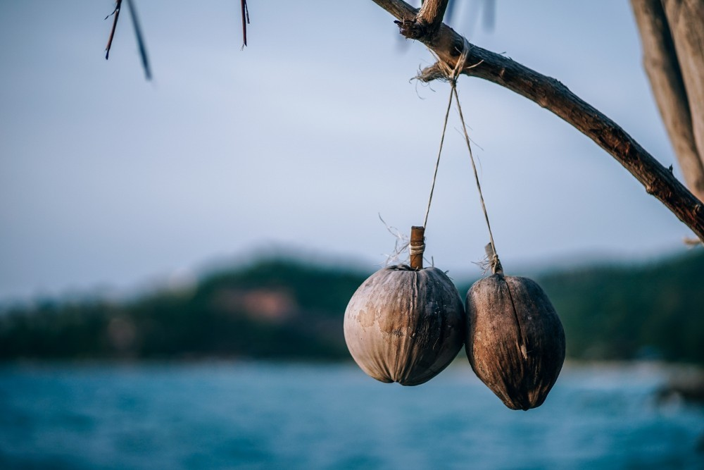 Two-Coconuts-Hanging-Down-from-a-Tree-in-Low-Light