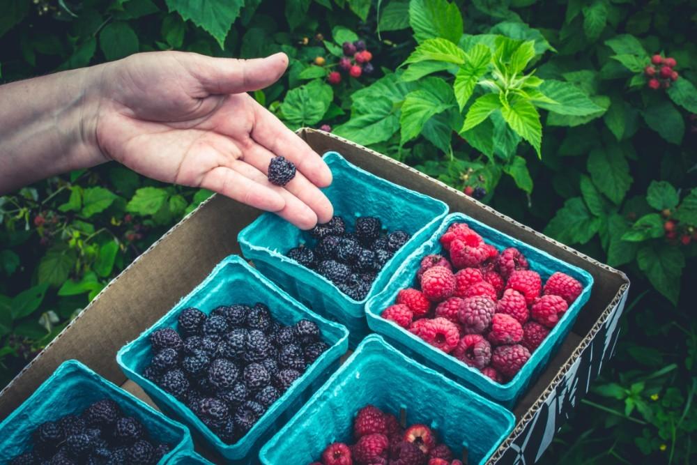 Woman's-Hand-Picking-Blackberries-and-Raspberries