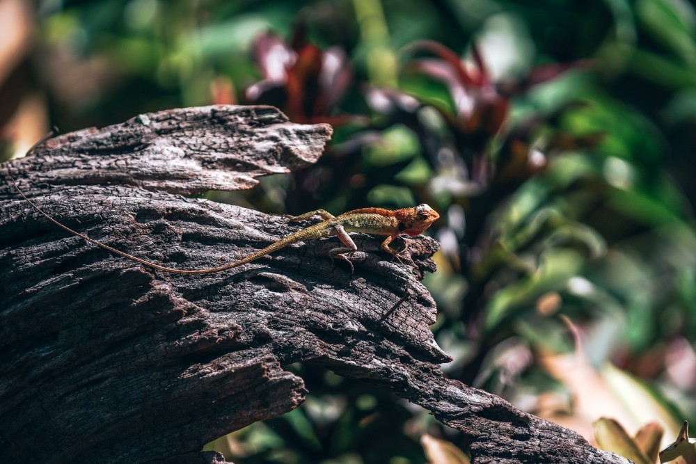 Colorful Tropical Lizard Chilling on a Tree Log in Morning Light