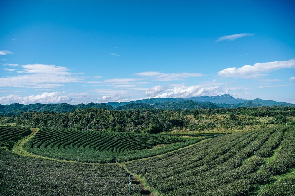 Amazing Landscape of a Tea Plantation under a Blue Sky