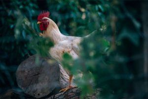 Beautiful White Rooster Standing on a Log