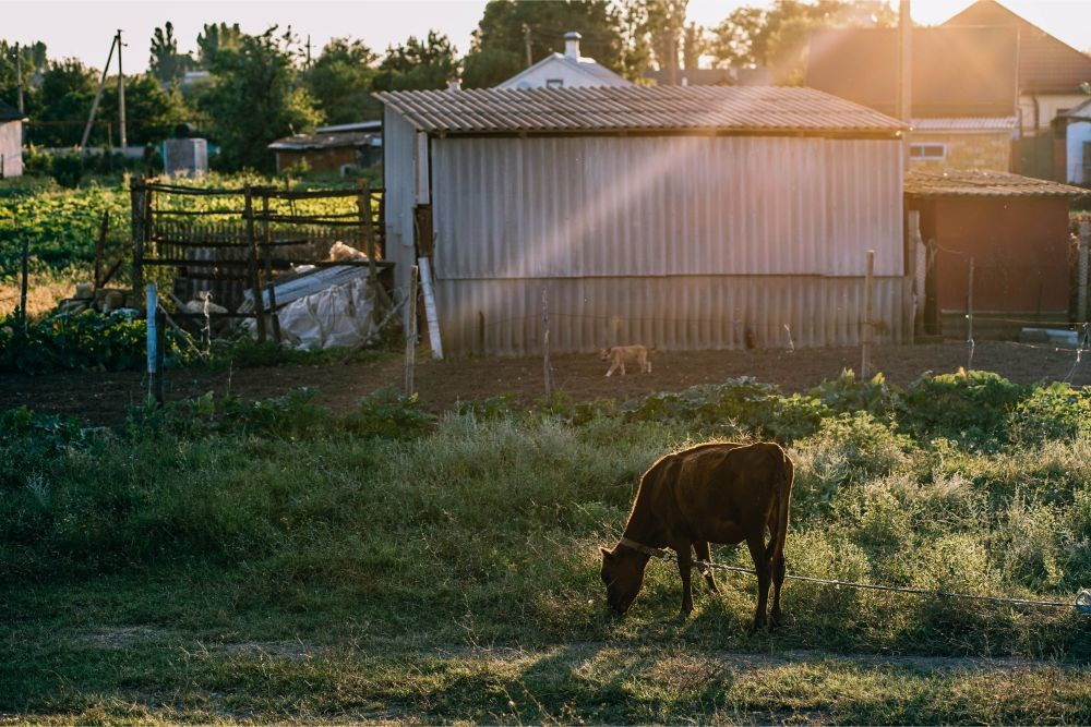 Chained-Cow-Eating-Grass-outside-a-Farm