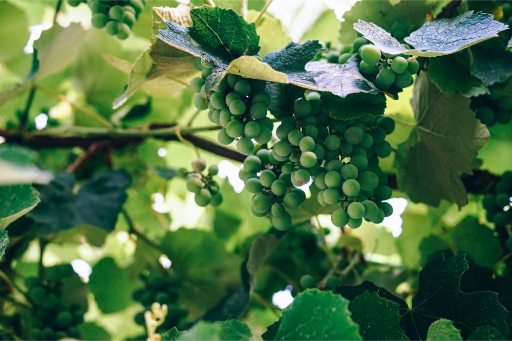 Close up Shot of Green Grapes Growing