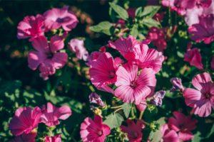 Close up Shot of Pink Geranium Flowers