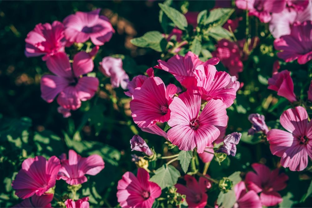 Close-up-Shot-of-Pink-Geranium-Flowers