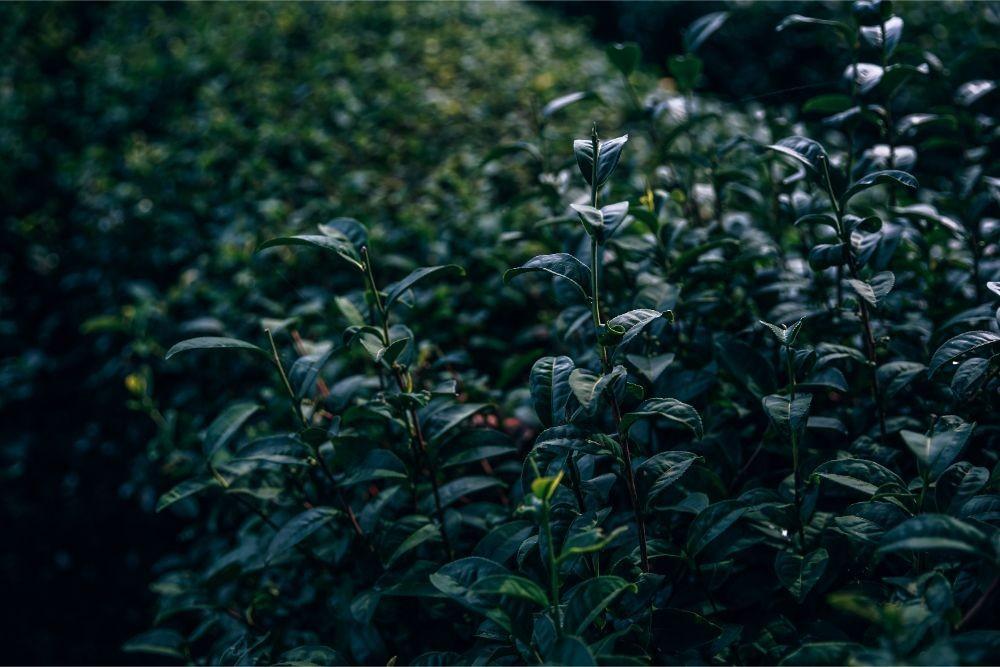 Close up Shot of Tea Leaves