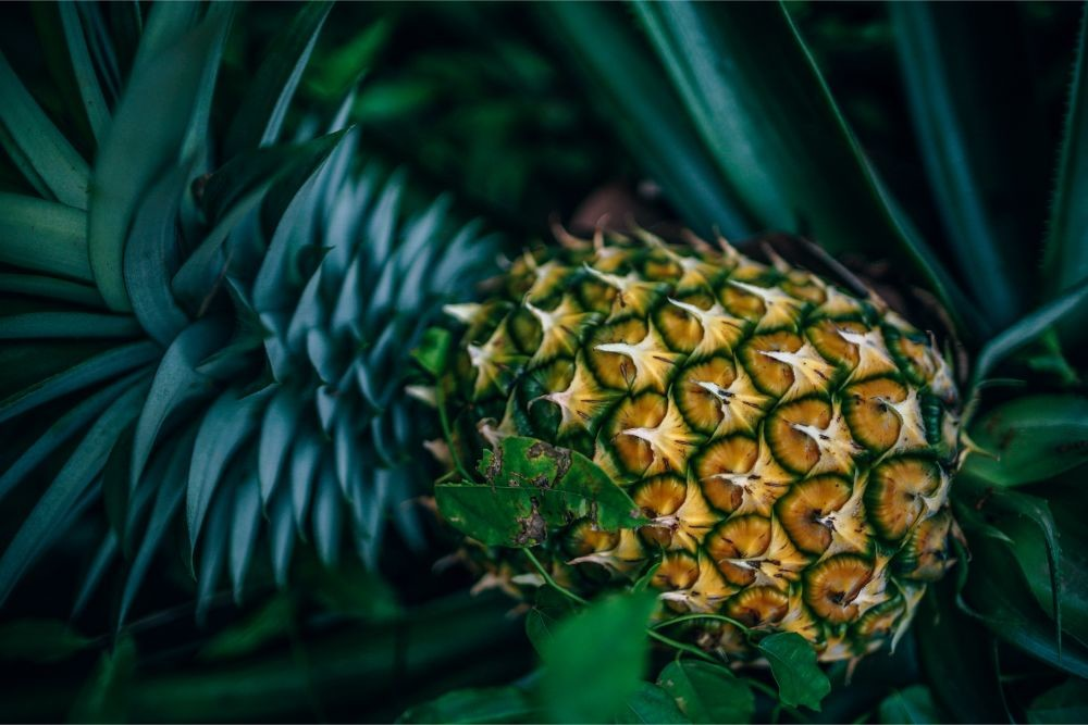 Close-up-Shot-of-a-Ripe-Pineapple