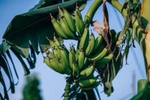 Green Bananas Growing
