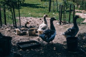 Group of Geese Photographed on a Sunny Day