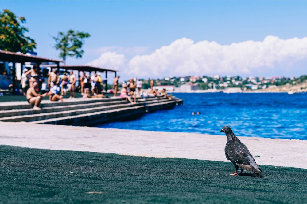 Pigeon Sitting by the Shore in Sevastopol