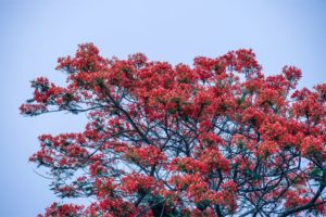 Stunning Tree with Red Leaves and the Blue Sky in the Background