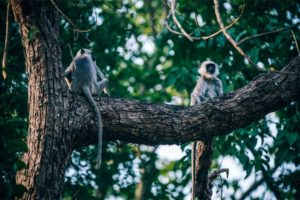Two Monkeys Chilling on a Big Tree Branch