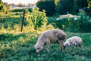 Two Sheep Eating Grass