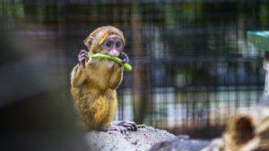 baby monkey eating vegetable