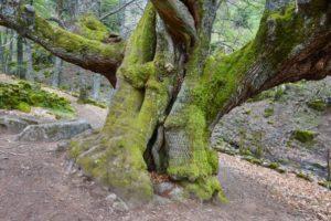 centuries old chestnut tree on ambroz valley PYPNV