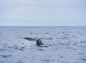 whale by the coast of pico island WTPS