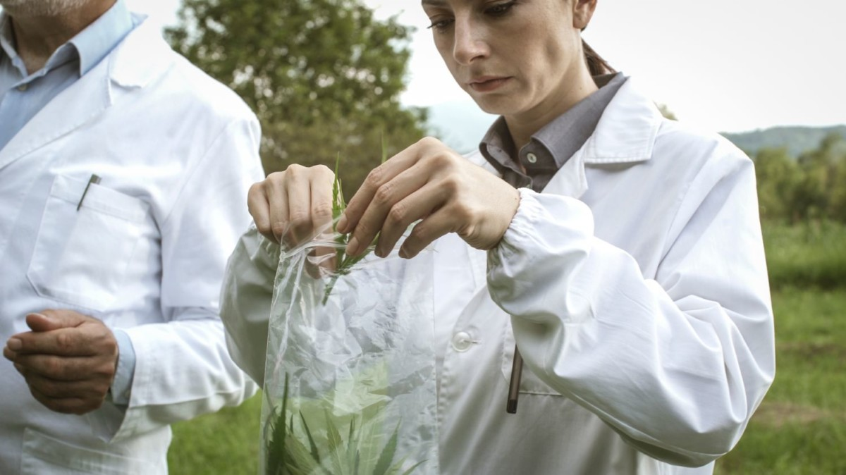 researchers-collecting-hemp-plant-samples-in-the-XUH2EQA
